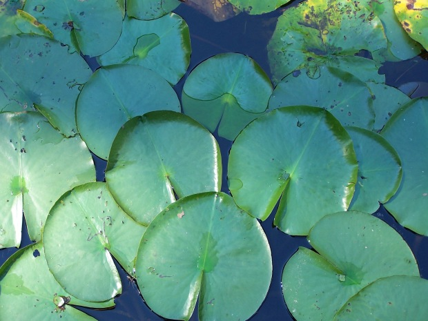multiple lilly pads