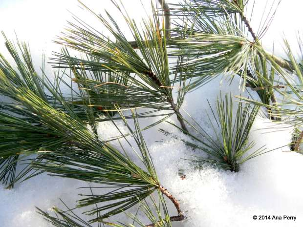 12.2.14 - pine
