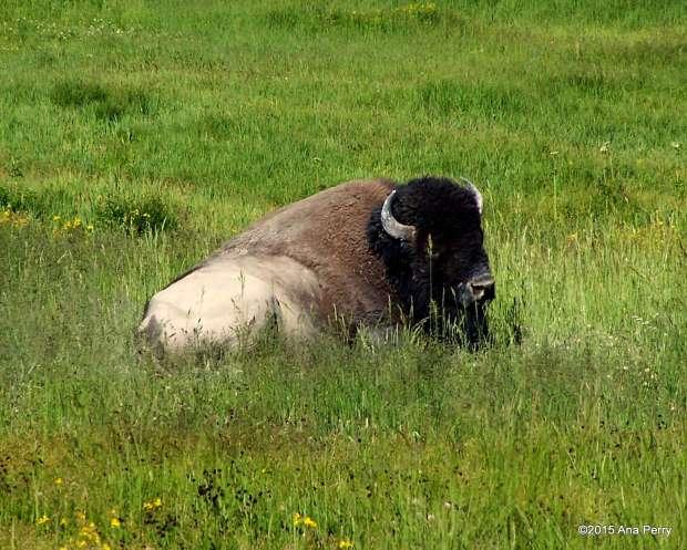 YS_buffalo